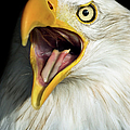 Screaming Eagle Portrait by Artur Bogacki