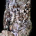 Screech Owl by Dave Mills