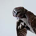 Screech Owl by LeeAnn McLaneGoetz McLaneGoetzStudioLLCcom