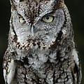 Screech Owl by Richard Bryce and Family