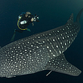 Scuba Diver And Whale Shark, Papua by Steve Jones
