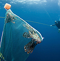 Scuba Diver Nets Invasive Indo-pacific by Karen Doody