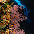 Sea Fans And Crinoid, Fiji by Todd Winner