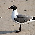 Sea Gull Posing For The Camera by Christopher Hignite