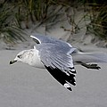 Sea Gull Searching by Paulette Thomas