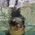 Sea Lion Portrait, Los Islotes, La Paz by Todd Winner