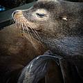 Sea Lion by Steve McKinzie