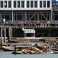 Sea Lions At Pier 39 San Francisco California . 7d14272 by Wingsdomain Art and Photography