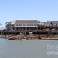 Sea Lions At Pier 39 San Francisco California . 7d14273 by Wingsdomain Art and Photography