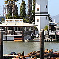 Sea Lions At Pier 39 San Francisco California . 7d14296 by Wingsdomain Art and Photography