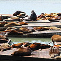 Sea Lions At Pier 39 San Francisco California . 7d14316 by Wingsdomain Art and Photography