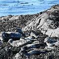 Sea Lions In Alaska by Pamela Walrath
