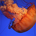 Sea Nettle Jellyfish. by Kick Images