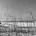 Sea Oats by John Black