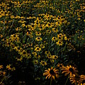 Sea Of Black-eyed Susans by Guy Ricketts