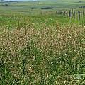 Sea Of Grass by Jim Sauchyn