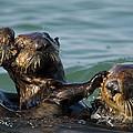 Sea Otter Enhydra Lutris Bachelor Male by Suzi Eszterhas
