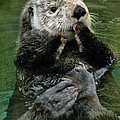 Sea Otter by Kym Clarke