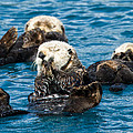 Sea Otter Naptime by Adam Pender