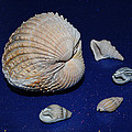Sea Shells by Chris Day
