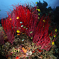 Sea Whips And Soft Coral, Fiji by Todd Winner