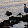 Seagull At Dusk by James Hammen