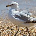 Seagull by Betsy Knapp