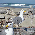 Seagull Bird Art Prints Coastal Beach Bandon by Baslee Troutman