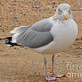 Seagull by Catherine Reusch Daley