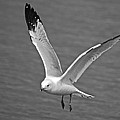 Seagull In Flight by Michael Peychich