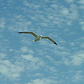 Seagull In Sky by Dennis Pintoski