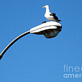 Seagull On Street Light by Christopher Shellhammer