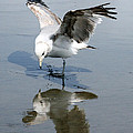 Seagull Reflection by Samantha Panzera