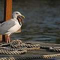 Seagull Swallows Starfish by Kym Backland