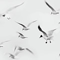 Seagulls by K.Arran - photomuso