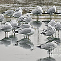 Seagulls by Ronald Grogan