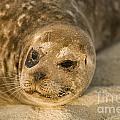 Seal 1 by Daniel  Knighton