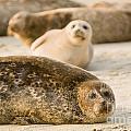 Seal 3 by Daniel  Knighton