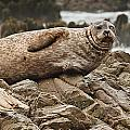 Seal Old Timers by Greg Nyquist