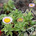 Seaside Fleabane Flowers by Ted Kinsman
