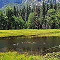 Seasonal Duck Pond by Lynn Bauer