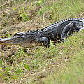 See Ya Later Gator by Kathy Gibbons