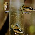 Seed Eating Song Birds by LeeAnn McLaneGoetz McLaneGoetzStudioLLCcom
