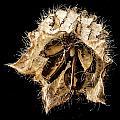 Seed Pod by Jean Noren