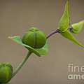 Seed Pods by Clare Bambers