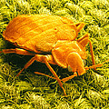 Sem Of A Bed Bug by Power And Syred