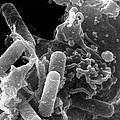Sem Of Immune System Phagocyte Ingesting Bacteria by Dr Kari Lounatmaa