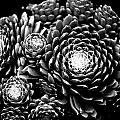 Sempervivum by Hakon Soreide