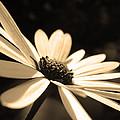 Sepia Daisy Flower by Sumit Mehndiratta