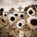 Sepia Sunflower Field by Debbra Obertanec